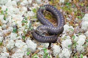 Siberian viper in the wild