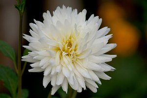 White dahlia in the garden