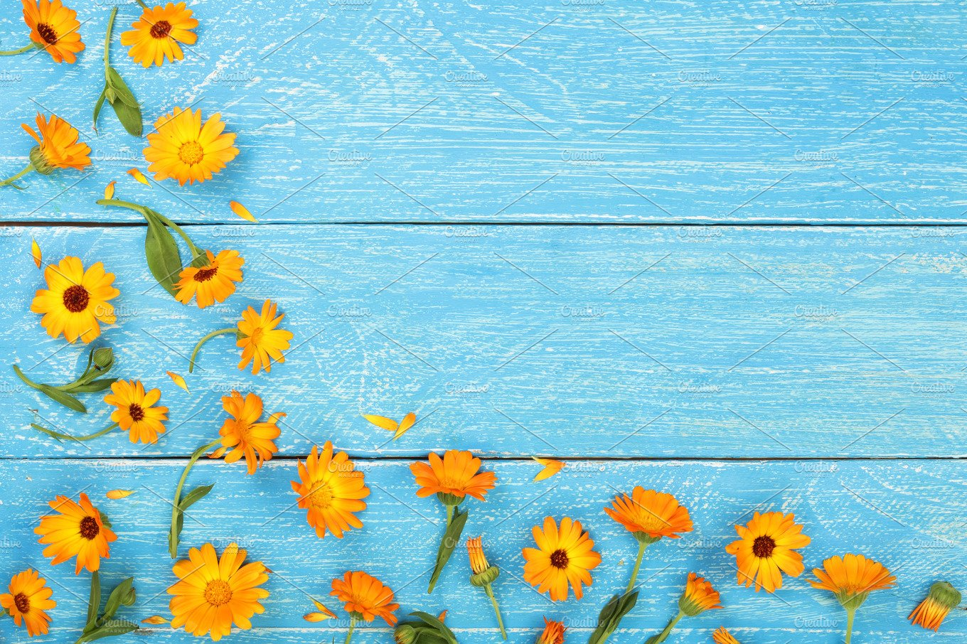 Calendula Marigold Flower On Blue Wooden Background With Copy Space