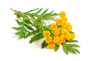 tansy with leaf isolated on a white background. Medical herb