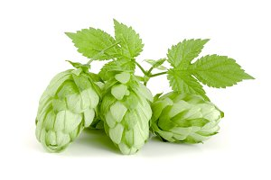 hop cones with leaf isolated on white background close-up
