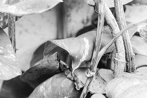 Pothus Plant