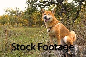Shiba Inu dog outdoors