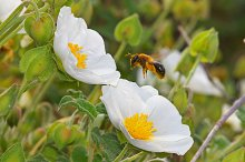 flying bee and pollinating