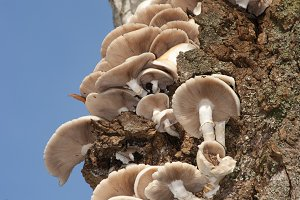 mushrooms growing at tree (Agrocybe