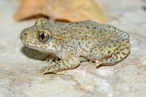 Toad.(Alytes obstetricans)
