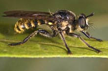 Macro of this fly predator