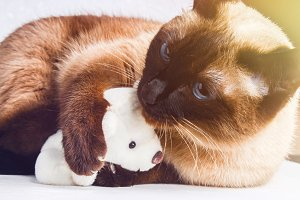 Siamese Thai cat plays with a teddy bear. Claws, teeth, aggression.