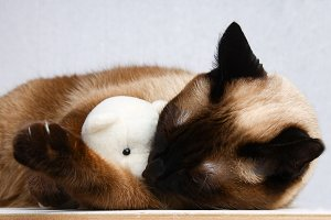 Siamese Thai cat plays with a teddy bear. Claws, teeth, aggression. He sleeps with a toy.