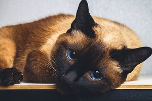 Siamese Thai cat lies and looks into the camera, in the frame, in the soul. Sadness, melancholy, loneliness.