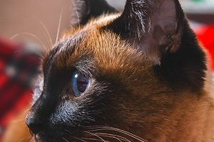 Siamese Thai cat looks carefully away. Portrait of a cat with blue eyes.