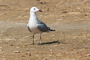 Audouins's gull