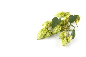 Green fresh hop cones