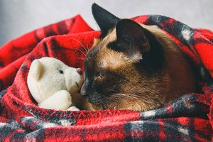 The Siamese Thai cat is wrapped in a plaid with a soft toy. The concept of autumn, winter, cold. Waiting for heating, heat.