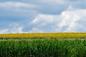 Sunflowers and green grass