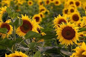 Beautiful sunflowers