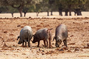 Pigs in the Spanish field