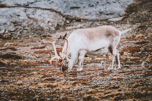 Reindeer in Nordic Tundra Landscape