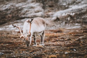 Reindeer in Nordic Tundra Landscape