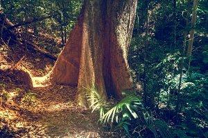 Big tree in jungle rainforest. Nature background