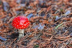 Red poisonous Amanita mushroom