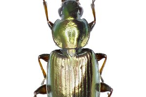 Ground Beetle Agonum