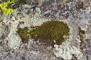 Moss and lichen on a granite rock