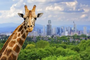 Giraffe with the city