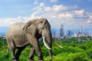 Elephant with the city