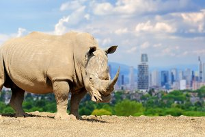 Rhino with the city