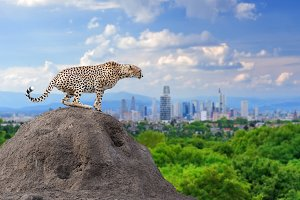 Cheetah with the city