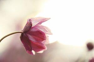 Macro Pink Flower Bud