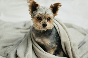 Puppy in a blanket