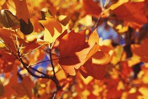 Bright Orange Autumn Leaves