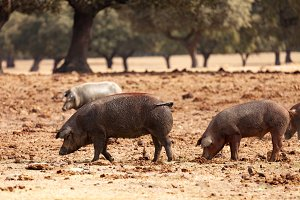 Pigs grazing in the countryside