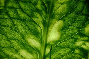 Skunk Cabbage Leaf Close Up