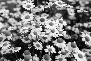 Black and white flowers of chamomile