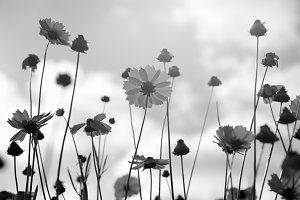 Black and white flowers of coreopsis