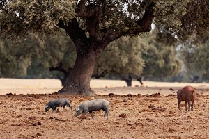 Iberian pigs in the field