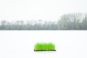 Fresh Grass In The Snow