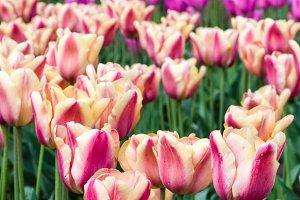 Tulip flowers in garden
