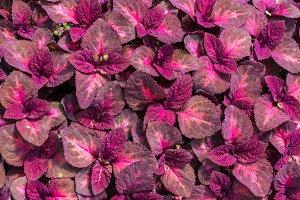 Red coleus plants