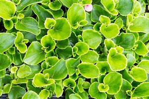Green begonia plants