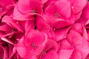 Red hydrangea flower