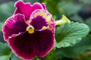 Single pansy flower