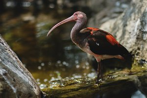 Scarlet Ibis in a River