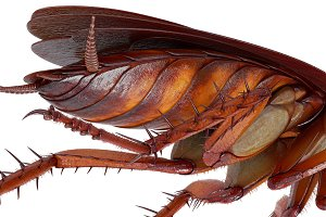 Cockroach bug orange brown, close view