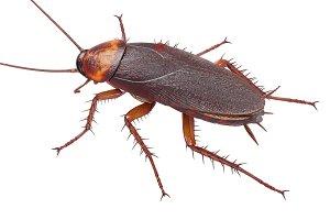 Cockroach bug american