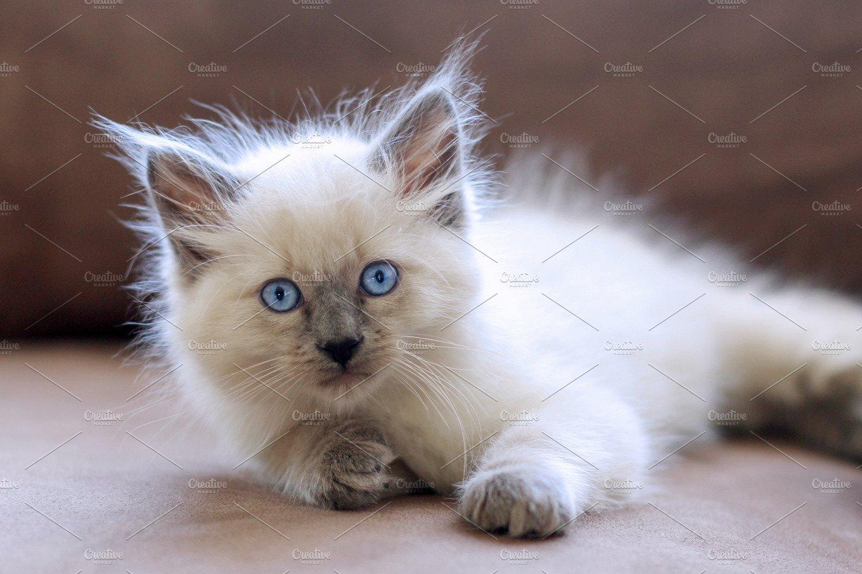 White Balinese Kitten ~ Animal Photos ~ Creative Market