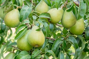 Bartlett pears on tree